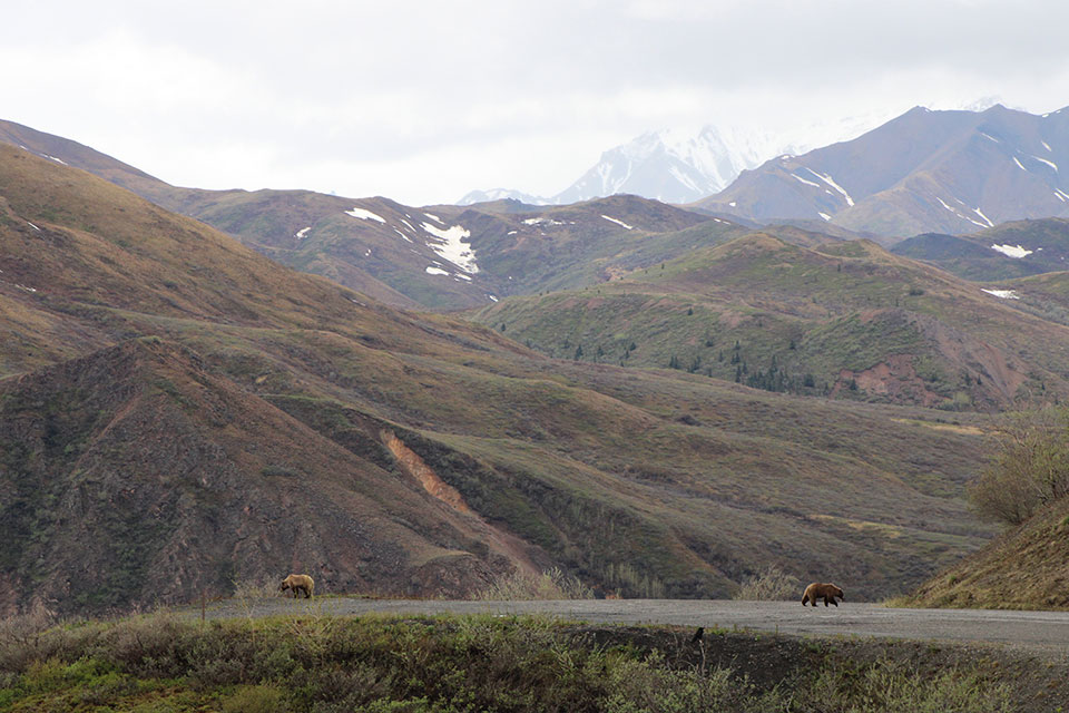 Grizzly Bears on the Denali Park Road