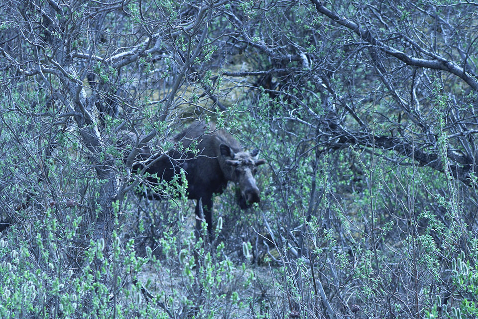 Moose on Denali road - June 2020
